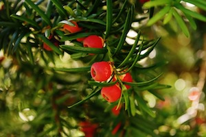 taxus planten